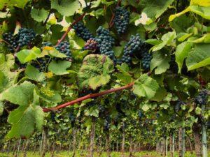 Il vino di Monza